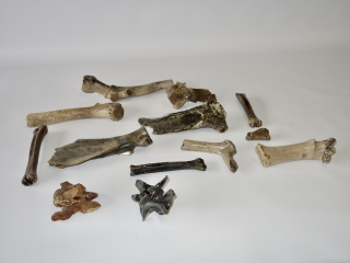 A Bargain Lot of 13 Bones of Pleistocene Cervidae