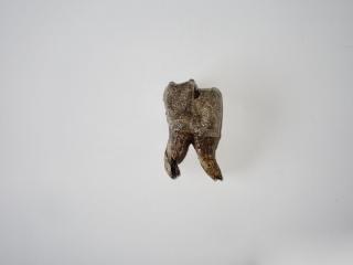 A Beautiful Lower Jaw Molar of a Woolly Rhinoceros