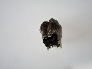 A Beautiful Upper Jaw Molar of a Woolly Rhinoceros