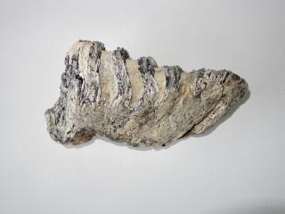 A Beautiful Lower Jaw M2 Molar of a Southern Mammoth