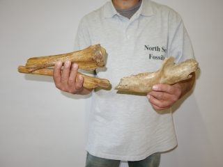 A Bargain Group of 17 Fossils of Pleistocene Cave Bear