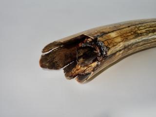 A Fantastic Half Tusk of a Female Woolly Mammoth