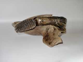 A Half Lower Jaw with M1 and M2 Molars of a Woolly Mammoth