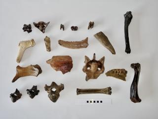 A Bargain Lot of 19 Fossils of Pleistocene Red Deer