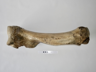A Fantastic and Large Humerus of a Woolly Mammoth