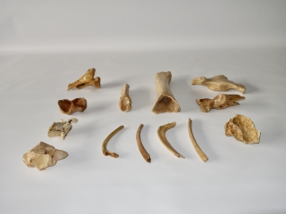A Bargain Group of 13 Fossils of Pleistocene Cave Bear