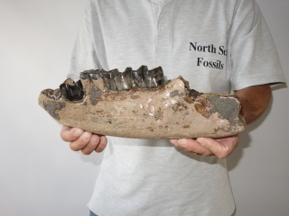 A Fantastic Partial Lower Jaw of a Stephanorhinus etruscus