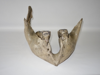 A Fantastic Lower Jaw with M3 Molars of a Mammoth