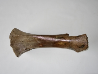 A Good Tibia of a Juvenile Woolly Mammoth