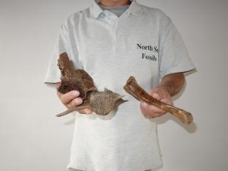 A Bargain Lot of 19 Fossils of Marine Mammals