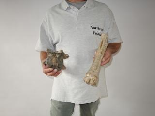 A Bargain Lot of 9 Fossils of Irish Elk