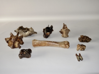 A Bargain Group of 9 Fossils of Pleistocene Wisent