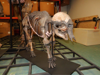 Skeletons of a Female Woolly Mammoth and a Baby Woolly Mammoth