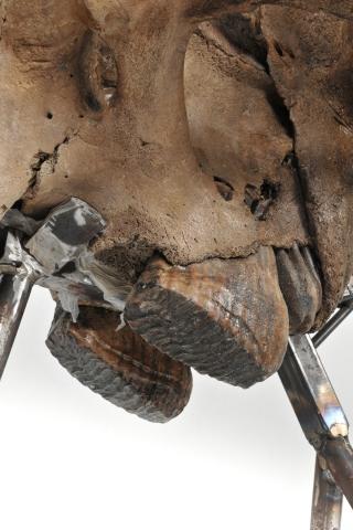 An Incredibly Rare Skull of a Juvenile Mammoth