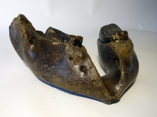 A Lower Jaw with M2 and M3 Molars of a Woolly Mammoth