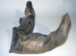 A Lower Jaw with M1 and M2 Molars of a Woolly Mammoth