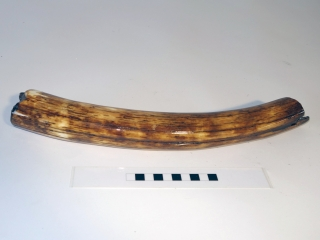 A Fantastic Piece of Tusk of a Woolly Mammoth