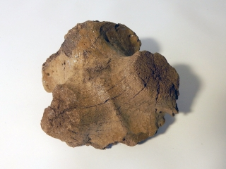 A Partial Cranium of an Irish Elk