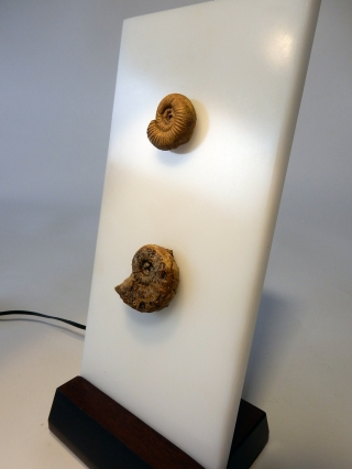 A Pair of Fossilized Ammonites