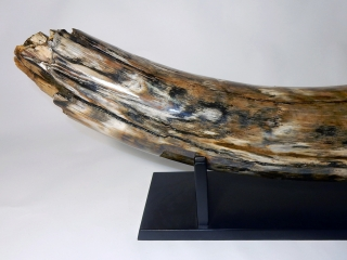 A Massive Piece of Tusk of a Mammoth