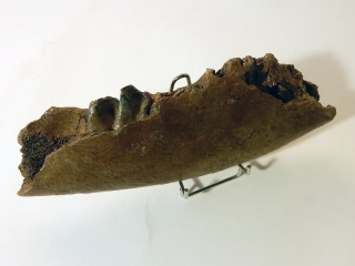 A Partial Lower Jaw of Stephanorhinus etruscus