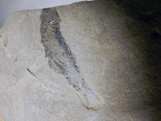 A Fossilized Palaeoniscum freieslebeni