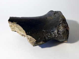 A Bargain Partial Shoulderblade of a Woolly Mammoth
