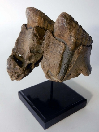 An Upper Jaw with P4 Molars of a Woolly Mammoth