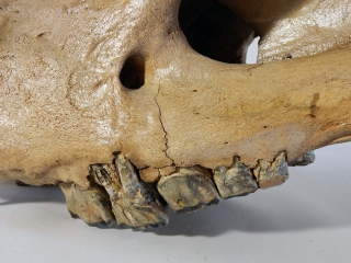 A Magnificent and Rare Skull of a Woolly Rhinoceros
