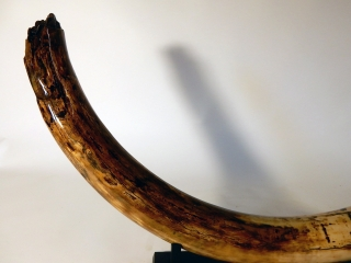 A Stunning Tusk of a Female Woolly Mammoth