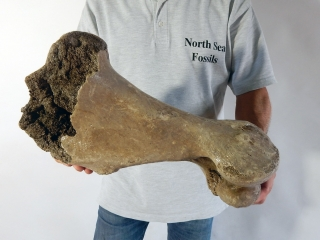 A Good Humerus of a Woolly Rhinoceros
