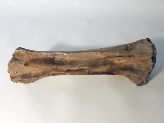 A Good Tibia of a Woolly Mammoth