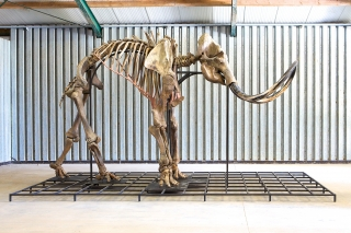 A Complete Skeleton of a Male Mammoth