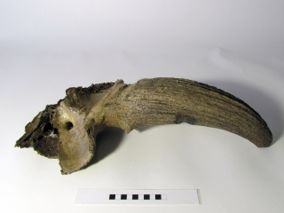 A Good Partial Skull with Hornpit of a Wisent