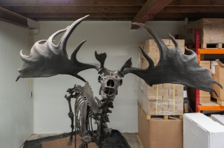 A Complete and Superb Skeleton of an Irish Elk
