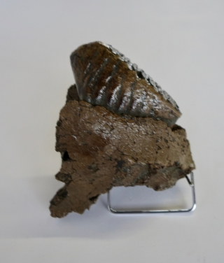 A Partial Upper Jaw with P4 Molar of a Woolly Mammoth