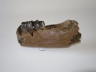 A Rare Partial Lower Jaw of a Woolly Rhinoceros