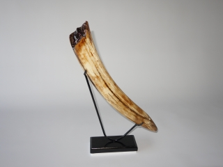 A Superb Tip of a Tusk of a Woolly Mammoth