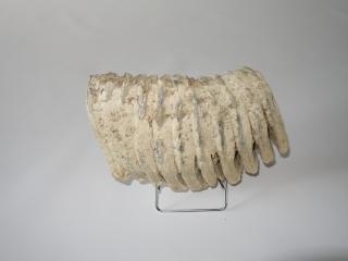 A Good M2 Molar of a Palaeoloxodon antiquus