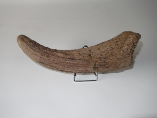 A Hornpit of an Unidentified Species of Wisent