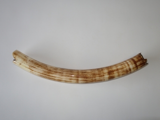 A Wonderful Half Tusk of a Juvenile Woolly Mammoth
