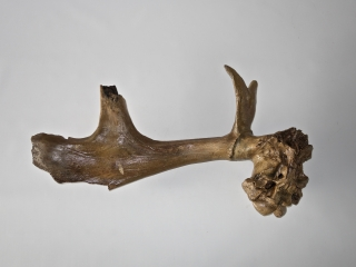 A Fantastic Partial Cranium with Antler of an Irish Elk