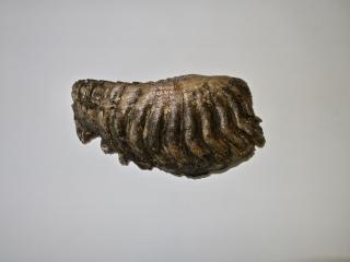 A Fantastic M2 Molar of a Palaeoloxodon antiquus