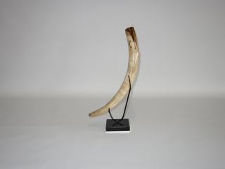 A Stunning Partial Tusk of a Juvenile Woolly Mammoth