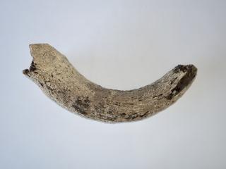 A Beautiful Partial Hornpit of a Pleistocene Aurochs