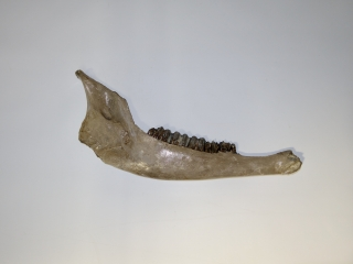A Good Half Lower Jaw of a Pleistocene Wisent