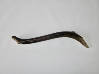 A Partial Antler of a Pleistocene Reindeer