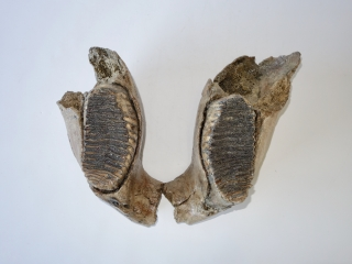 A Partial Lower Jaw with M2 Molars of a Woolly Mammoth