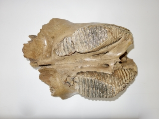 A Beautiful Partial Skull with M2 and M3 Molars of a Woolly Mammoth