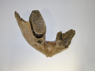 A Partial Lower Jaw with M3 Molar of a Woolly Mammoth